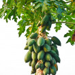 Bunch of papayas hanging from the tree — Stock Photo #11869125