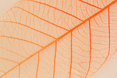 A transparent leaf. — Stock Photo