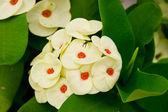 Poi Sian white flowers. — Foto de Stock