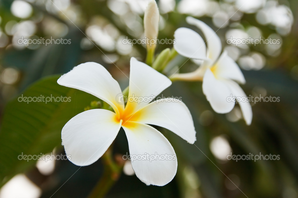 White and yellow frangipani flowers — Stock Photo #11916280