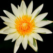Stock Photo: White lotus on a black background. — Stock Photo