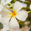White and yellow frangipani flowers — Stock Photo #11921474