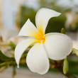 White and yellow frangipani flowers — Stock Photo #11921487