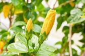 Gul hibiscus blomma — Stockfoto