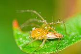 Spindel på ett grässtrå. — Stockfoto