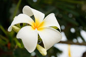 Fiori di frangipani bianco e giallo — Foto Stock
