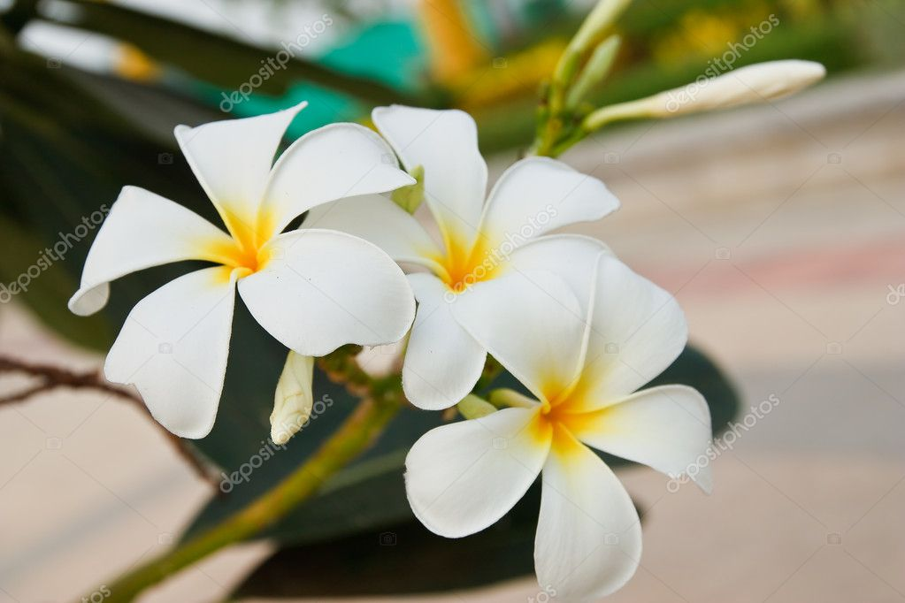 White and yellow frangipani flowers — Stock Photo #11921302