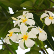White and yellow frangipani flowers — Stock Photo