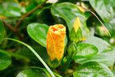 желтый чай из гибискуса цветок — Стоковое фото