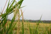 Terasových rýžových polí v severním thajsku — Stock fotografie