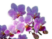 Pink phalaenopsis hybrid — Stock Photo