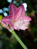 Pink and white star lily — Stock Photo