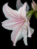 White and pink star lily — Stock Photo