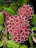 Hoya globulifera — Foto de Stock