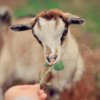 Young goat — Stock Photo