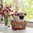 Puppy pug - Stock Photo