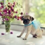 Puppy pug — Stock Photo