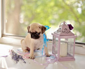 Puppy pug — Stock Photo