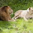 Stock Photo: Lion and Lioness