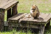 Lioness — Stock Photo