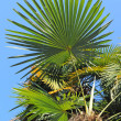 Green leaves of tropical palm trees — Stock Photo