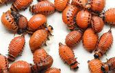 Larva del escarabajo de la patata — Foto de Stock