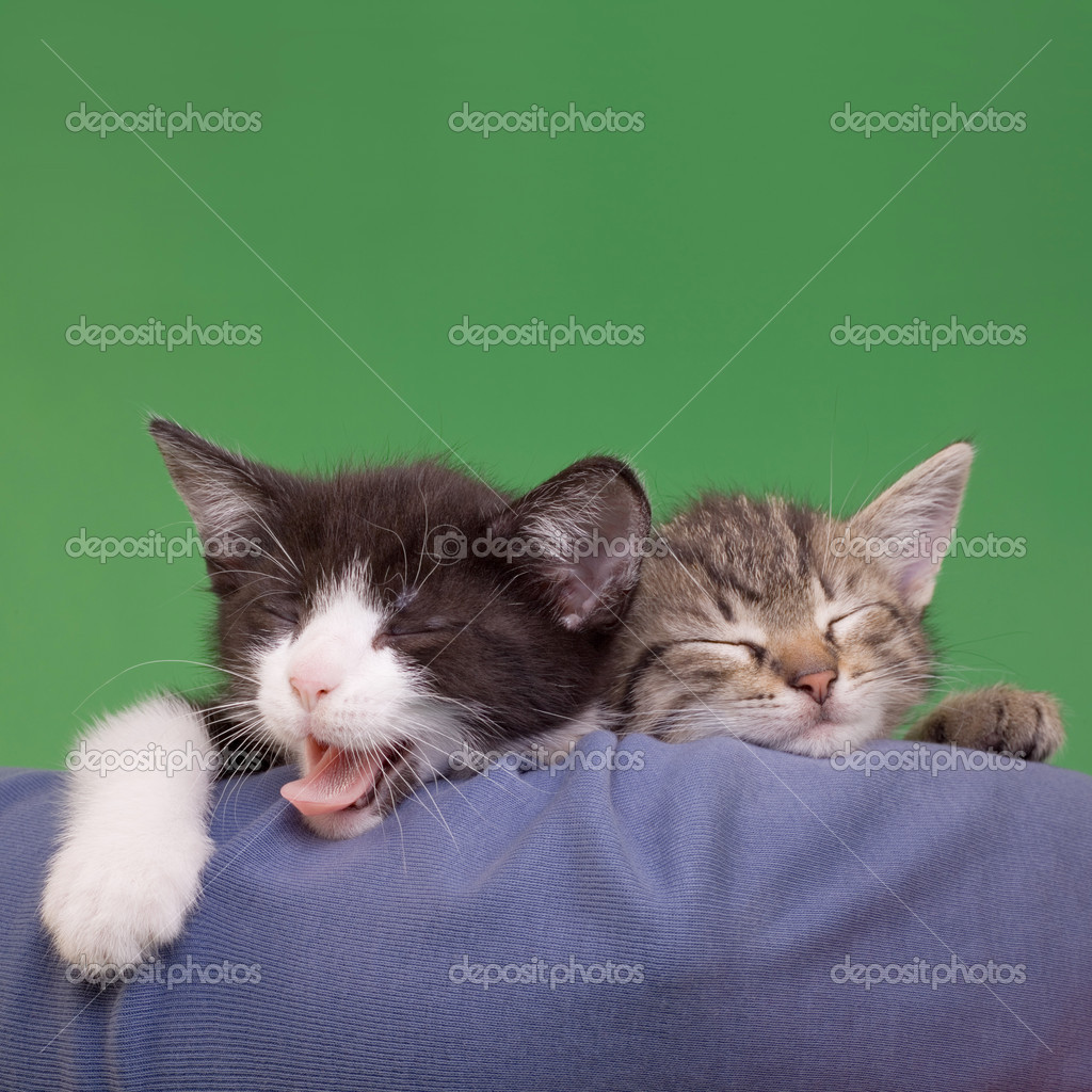 Two Dreamy Cats Domestic Cats Isolated on Green Background  Stock Photo #11130912