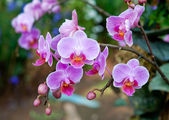 The Beautiful orchid — Stock Photo