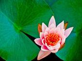 The Closeup lotus on pond — Stock Photo
