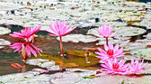 The Pink lotus on the pond — Stock Photo