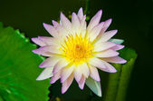 The Young lotus on pond — Stock Photo
