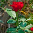 The Red rose — Stock Photo #11566027