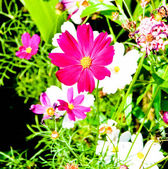 A gerbera daisy roxo — Foto Stock