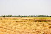 The Rice field — Stock Photo
