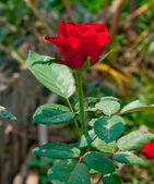 The Red rose — Stock Photo