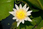 De witte lotus — Stockfoto