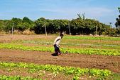 蔬菜植物生长在一个农场与蓝蓝的天空上的行 — 图库照片