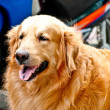 The Golden retriever dog — Stock Photo