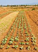 Строки растения Кале на ферме с голубым небом — Стоковое фото