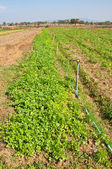 The Rows of coriander plants growing on a farm — Stock Photo