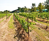 The Row of grapevine on vineyard — Stock Photo