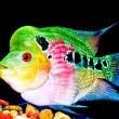 The Crossbreed flowerhorn fish — Stock Photo