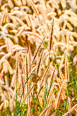 The Fluffy grass on field — Foto Stock