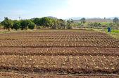 I filari di piante vegetali cresce in una fattoria con cielo blu — Foto Stock