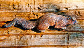 The Carving wood of squirrel — Stock Photo