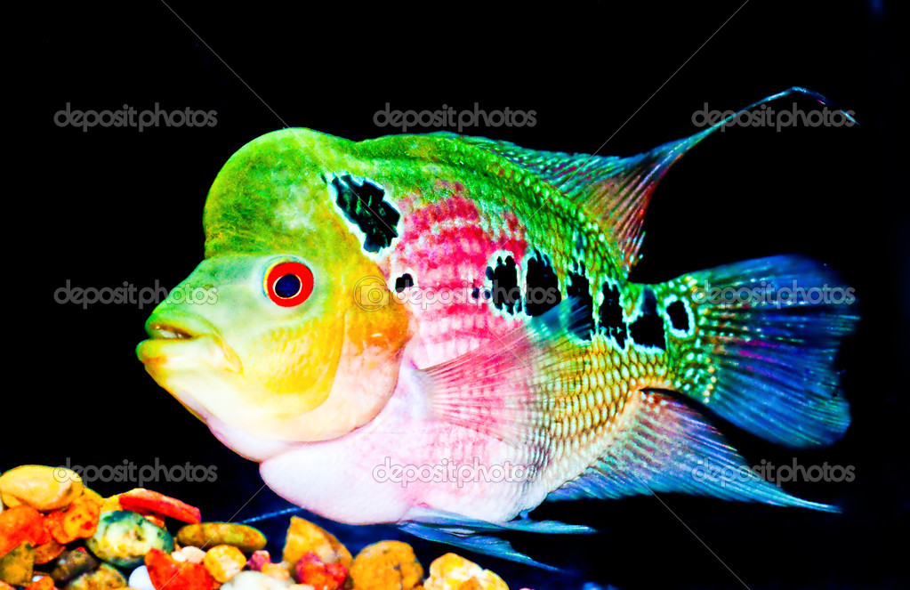 The crossbreed flowerhorn fish stock photo cbenjasuwan for Flower horn fish price