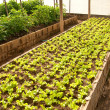 Nursery lettuce on green house — Stock Photo #11948068