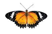 La mariposa aislada sobre fondo blanco — Foto de Stock