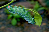 The Caterpillar eating leaves of a tree — Stock Photo