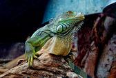 Green iguana in zoo — Stock Photo